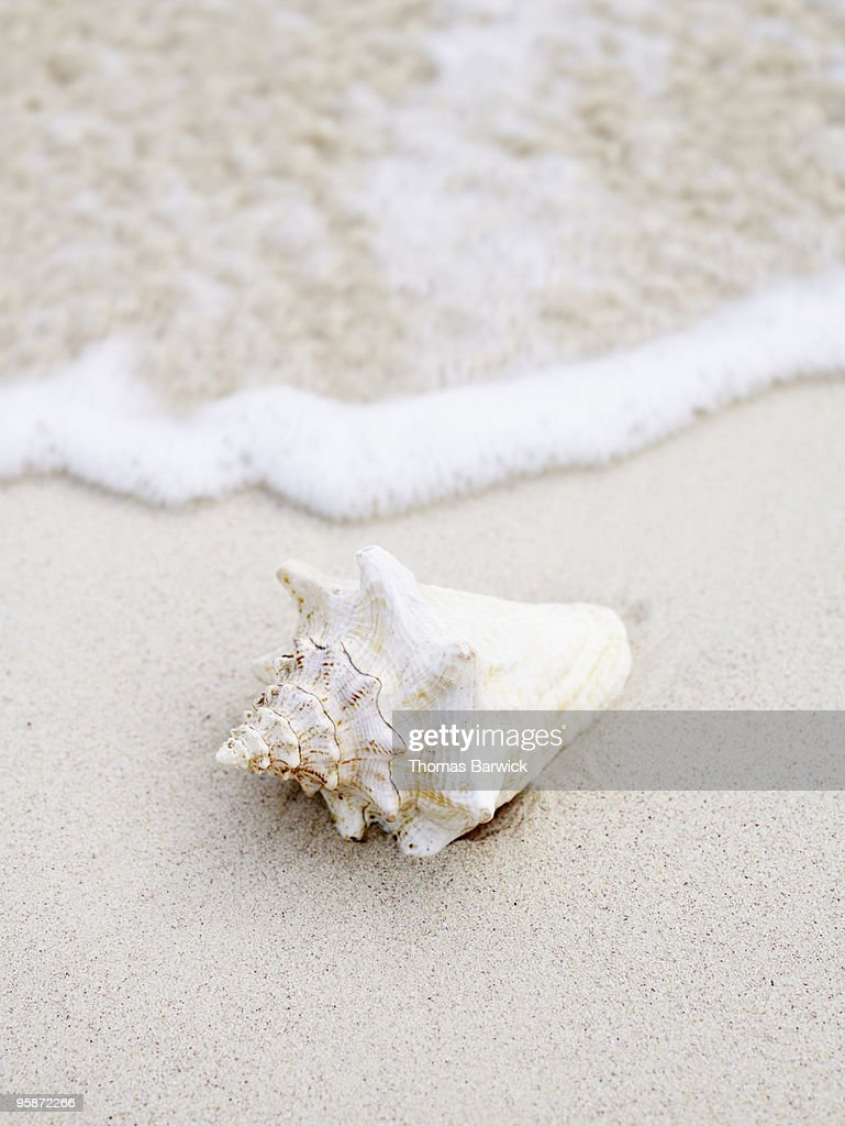 Seashell at waters edge on tropical beach : Stock Photo