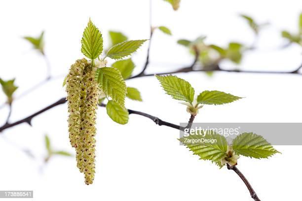 Saisonale Allergys Birch