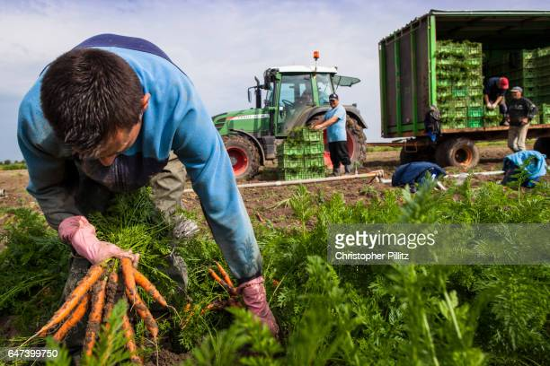 Seasonal immigrant workers harvest carrots from farmland.