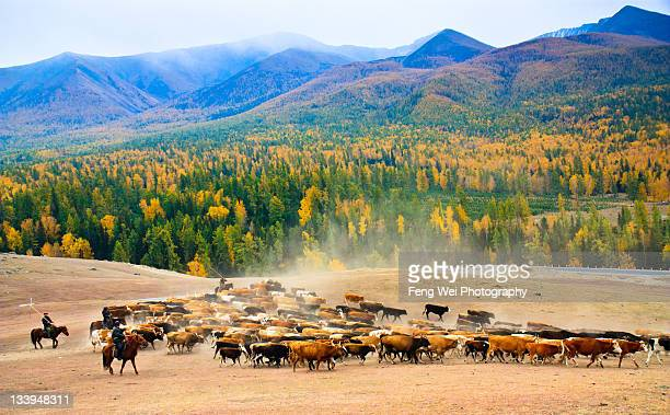 Seasonal livestock migration in Xinjiang China