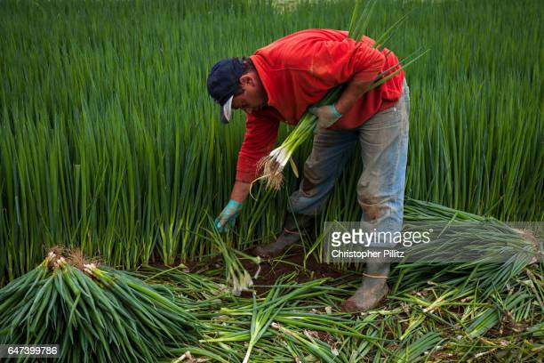 Seasonal migrant worker harvests spring onions