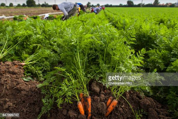Seasonal migrant workers harvest carrots from farmland.