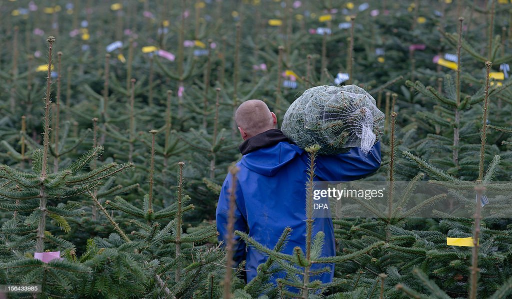 A seasonal worker from Poland carries a Christmas tree made ready for sale at the Gut Sierhagen farm in Altenkrempe, northern Germany, on November 15, 2012. AFP PHOTO / MARKUS SCHOLZ GERMANY OUT