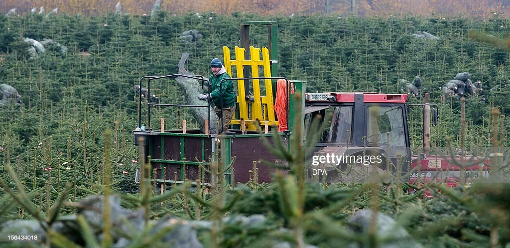 A seasonal worker loads Christmas trees made ready for sale on a trailer at the Gut Sierhagen farm in Altenkrempe, northern Germany, on November 15, 2012.