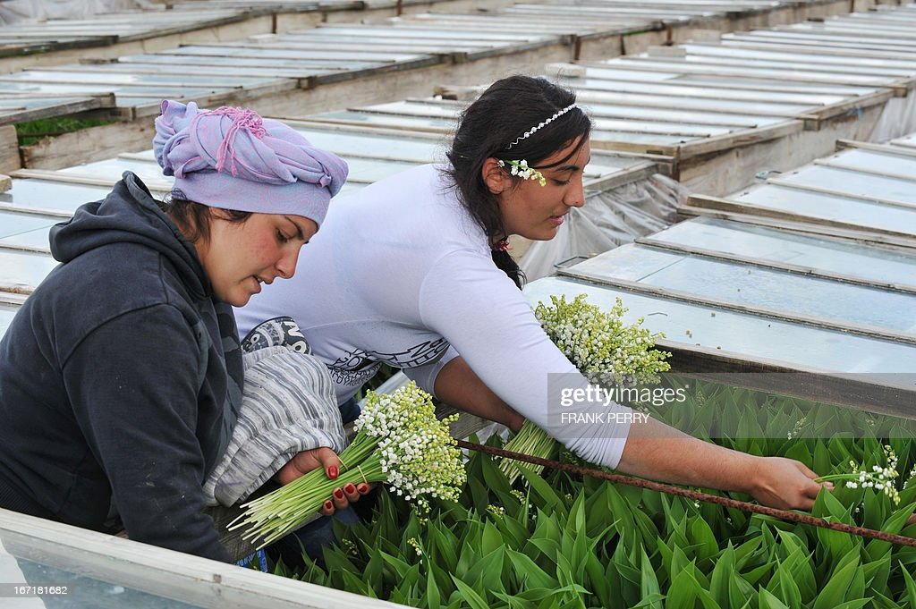 Seasonal workers pick up sprigs of lily-of-the-valley on April 22, 2013 in the western French city of Saint-Julien de Concelles, near Nantes. AFP PHOTO / FRANK PERRY