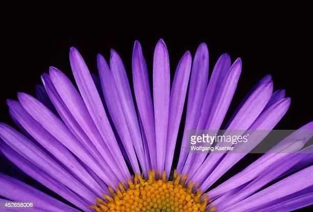 Seasons Closeup Of An Aster Flower