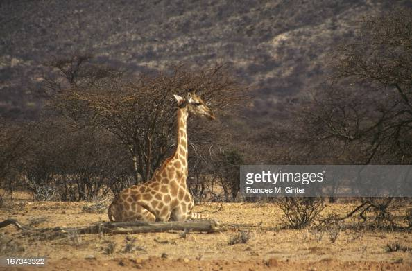 A seated giraffe is spotted along an early morning game drive in Mt Etjo Safari Lodge Namibia September 1995