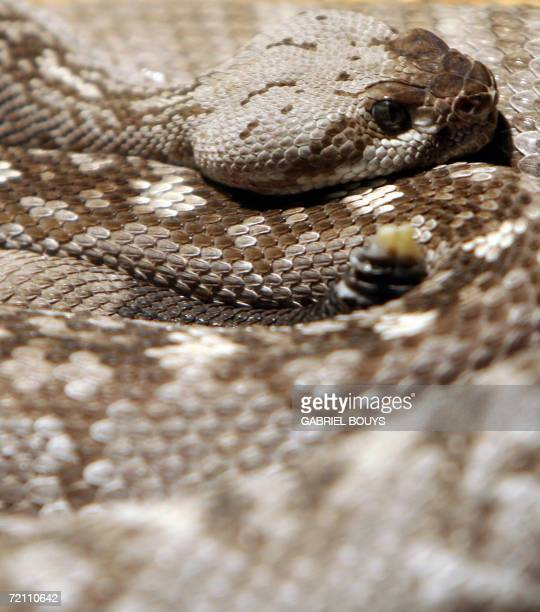A Rattle Snake is seen in its exhibit at at the zoo in Seattle Washington 01 October 2006 The zoo established in 1899 claims 1098 specimens...
