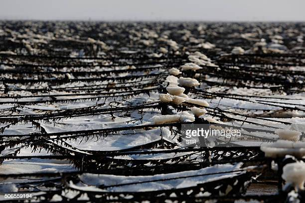 A seaweed farm is pictured after being damaged from the cold and snow in Lianyungang in eastern China's Jiangsu province on January 24 2016 Much of...
