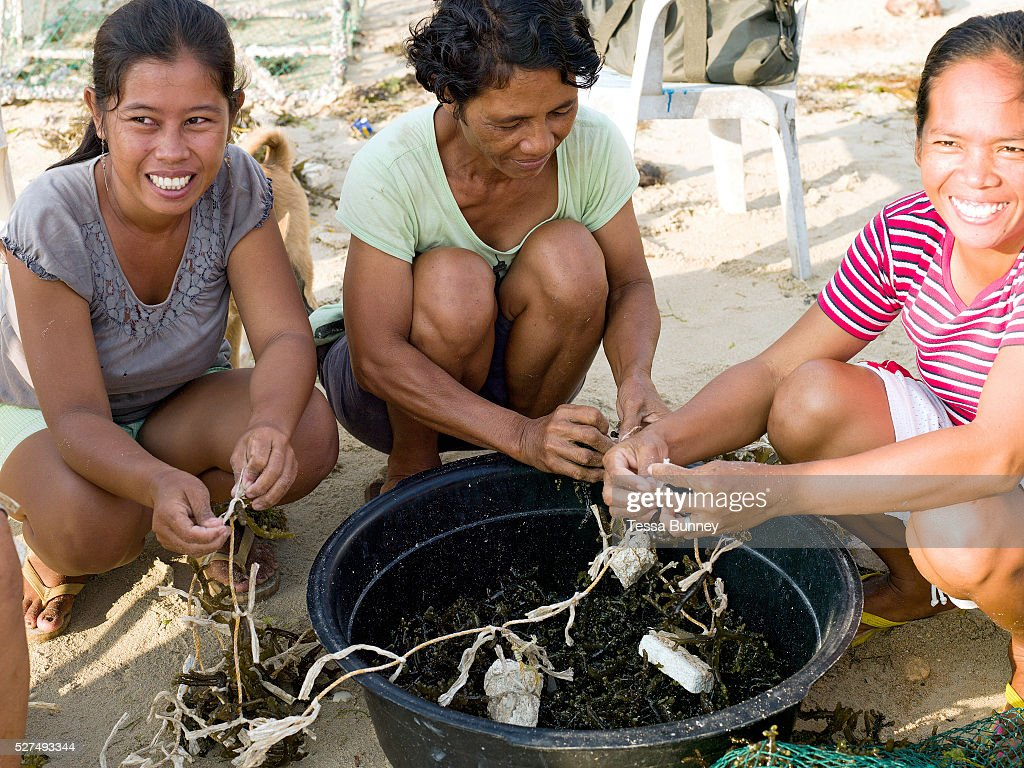 Seaweed farmers tying the seaweed seedlings to the lines to put into the sea Tamiao Bantayan Island The Philippines The polystyrene floaters are...