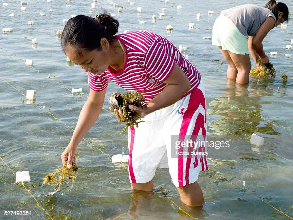 Seaweed farmers Zosima Yeliganio and Marissa Gegante cleaning the seaweed of algae by hand Tamiao Bantayan Island The Philippines Seaweed is fast...
