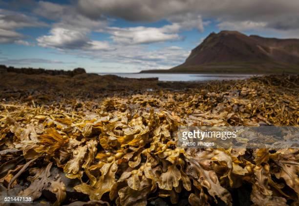 Seaweed (fucus) on the beach, Snaefellsnes Peninsula, Iceland