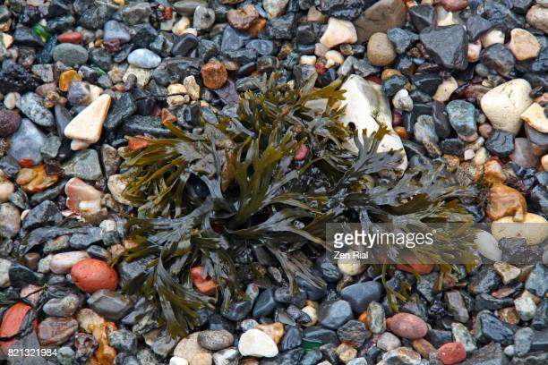 Seaweeds in the pebbly strand of the Hudson river, Jersey city, New Jersey, USA