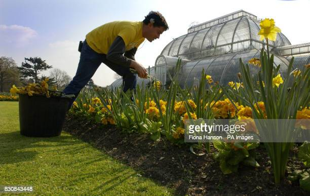 Second Year Kew Diploma student Aaron Bertelson from Auckland New Zealand dead heads outgoing spring daffodils to make way for incoming primroses...