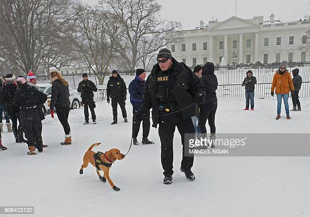 Secret Service sniffer dog 'Top' is seen on Pennsylvania Avenue infront of the White House in Washington DC on January 23 2016 A deadly blizzard with...