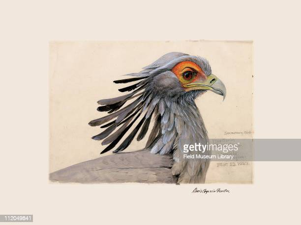 Secretary Bird Sagittarius serpentarius Plate 12 a watercolor Louis Agassiz Fuertes 1927