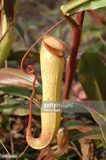 Secrets of meat eating plants being deciphered Pitcher plants are carnivorous plants whose preytrapping mechanism features a deep cavity filled with...