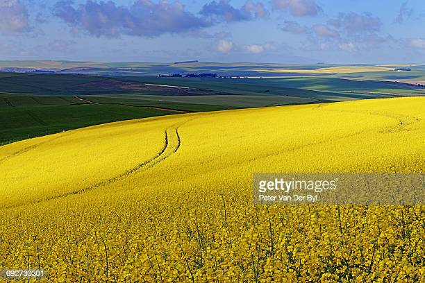 A section of a farm with sunlit canola and wheat fields with the tracks of a harvester running through the canola field, Swellendam, Western Cape South Africa