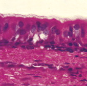 Section of ciliated epithelium of human trachea at x650 magnification