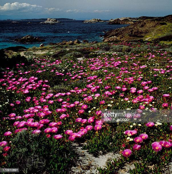 Section of coast with blooming Carpobrotus and Sageleaved Rock Rose La Maddalena Island Maddalena Archipelago National Park Sardinia Italy
