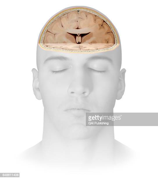 Section of the brain Part of the central nervous system enclosed in the skull consisting of the cerebrum cerebellum and brain stem it is responsible...