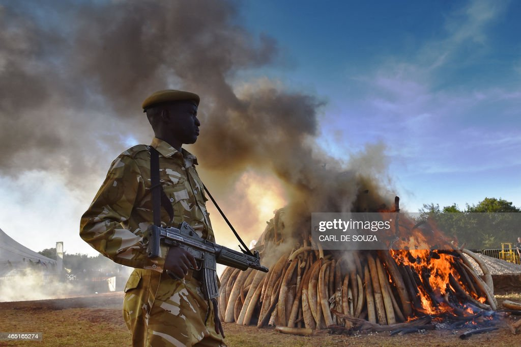 A KWS security officer stands near a burning pile of 15 tonnes of elephant ivory seized in Kenya at Nairobi National Park on March 3, 2015. 15 tonnes is the largest amount of contraband ivory burned in Africa to date. The fire was lit by Kenyan President Uhuru Kenyatta to mark World Wildlife Day and African Environment day. An average of 30,000 elephants are poached every year in Africa. AFP Photo/Carl de Souza