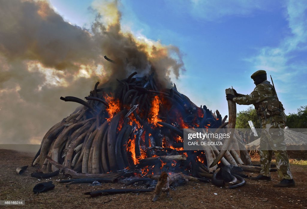 A KWS security officer throws an ivory tusk onto a burning pile of 15 tonnes of elephant ivory seized in Kenya at Nairobi National Park on March 3, 2015. 15 tonnes is the largest amount of contraband ivory burned in Africa to date. The fire was lit by Kenyan President Uhuru Kenyatta to mark World Wildlife Day and African Environment day. An average of 30,000 elephants are poached every year in Africa. AFP Photo/Carl de Souza