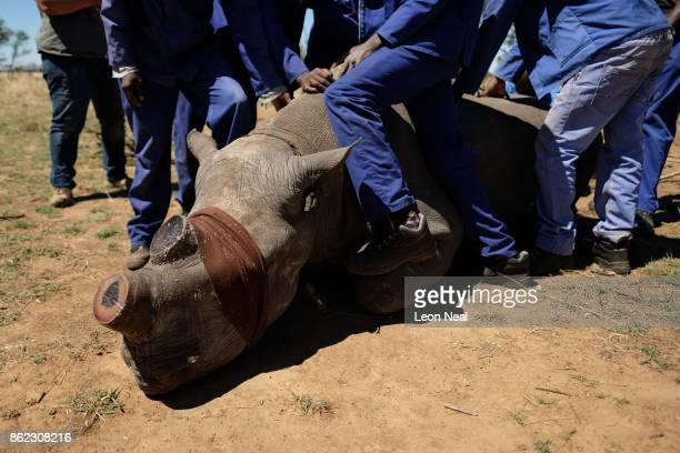A sedated and blindfolded black rhino is held in place after having it's horn trimmed at the ranch of rhino breeder John Hume on October 16 2017 in...