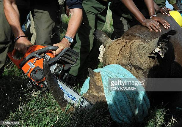 A sedated Black rhinocerous has it's horn reduced before being fitted with a radio transmittion device at the Lewa wildlife conservancy in Laikipia...