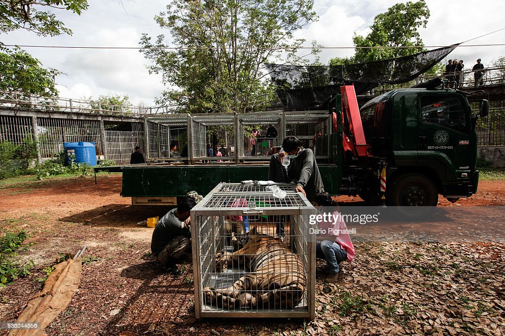 A sedated tiger is ready to be carried away at the Wat Pha Luang Ta Bua Tiger Temple on June 1, 2016, in Kanchanaburi province, Thailand. Wildlife authorities in Thailand raided a Buddhist temple in Kanchanaburi province where 137 tigers were kept, following accusations the monks were illegally breeding and trafficking endangered animals. Forty of the 137 tigers were rescued by Tuesday from the country's infamous 'Tiger Temple' despite opposition from the temple authorities.