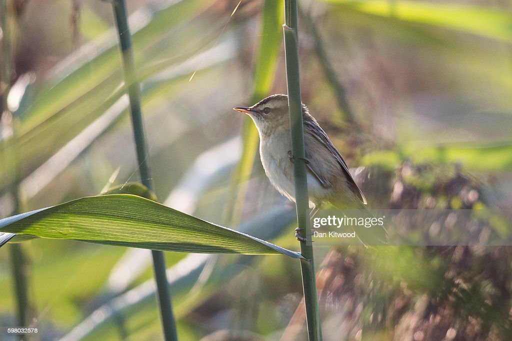 Sedge Warbler sits in reeds on the Isle of Grain on August 31 2016 in Isle of Grain England The Isle of Grain is the easternmost point of the Hoo...