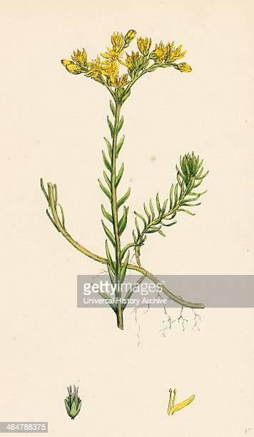 Sedum albescens Glaucous Stonecrop
