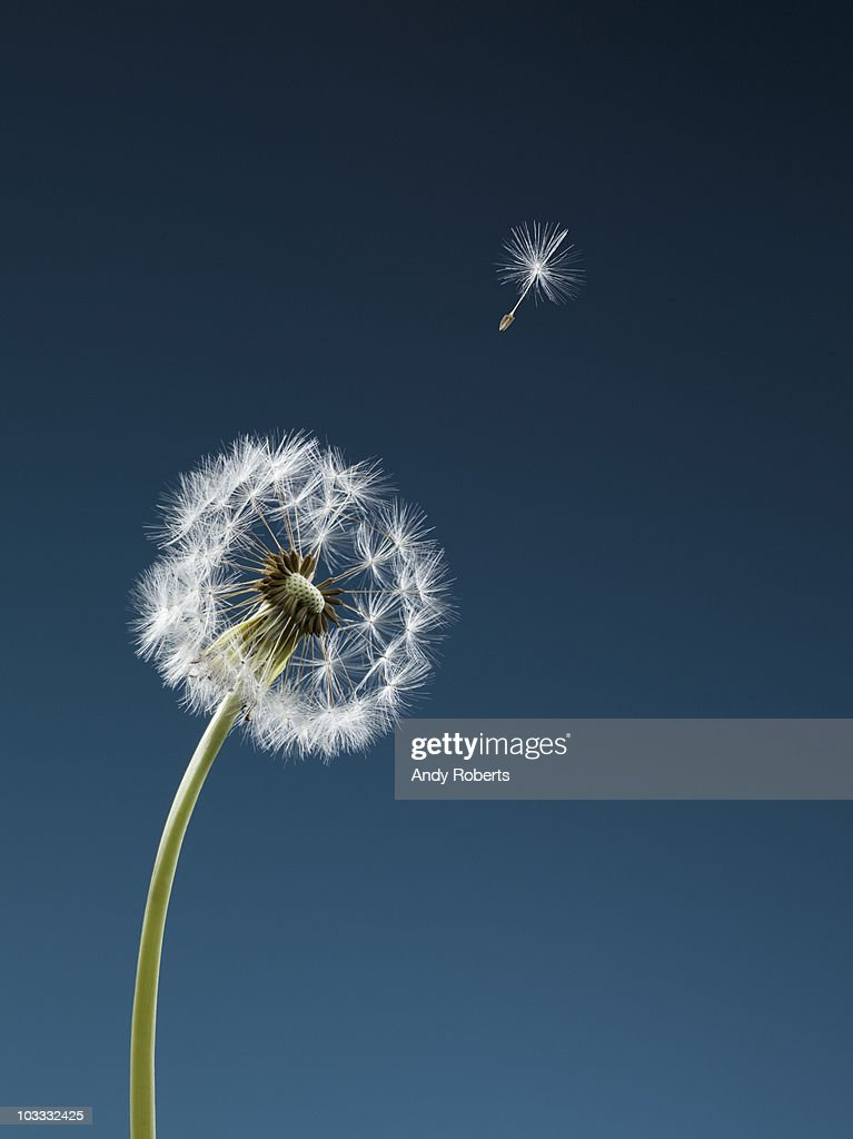 Seed blowing from dandelion : Stock Photo