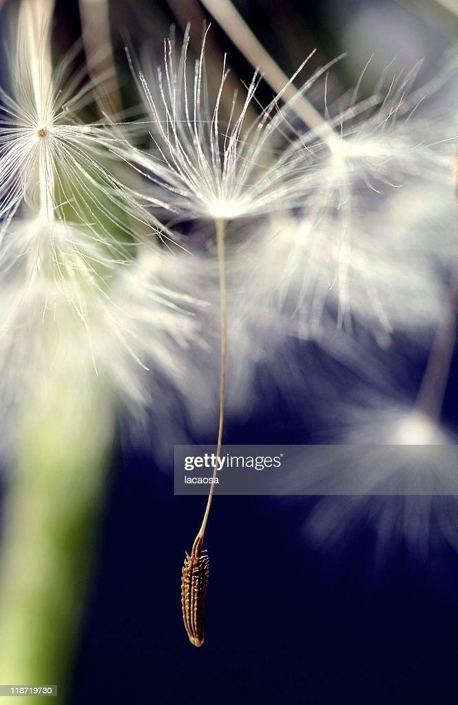 Seed of dandelion : Stock Photo