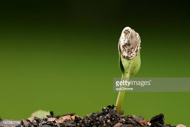Seed Sprouting