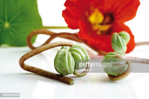 Seed vessels of nasturtium (Tropaeolum majus), close-up : Stock Photo