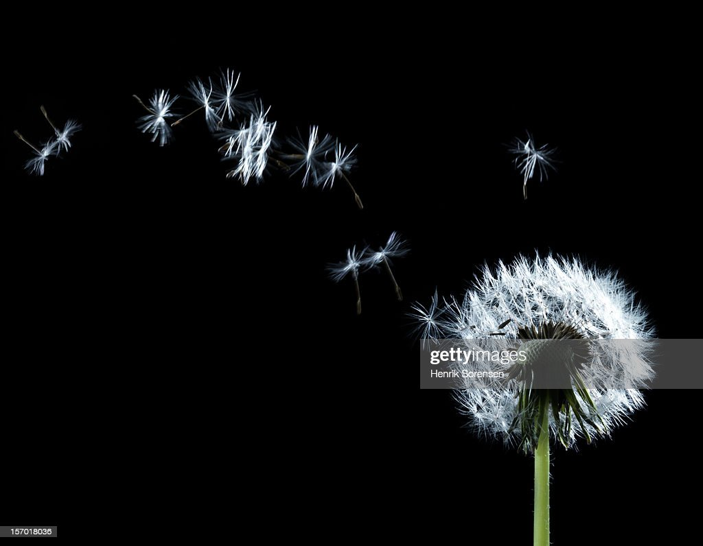 Seeding ?????????Dandelion : Stock Photo