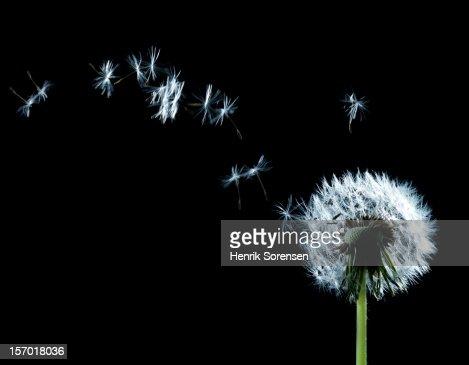 Seeding ?????????Dandelion