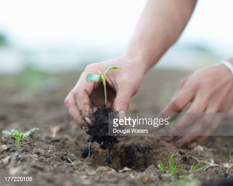 Seedling being planted in ground.