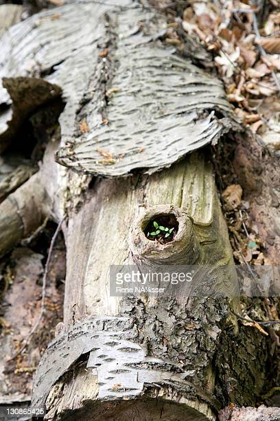 Seedling growing in a rotted, sawn off tree, laying among other felled trees