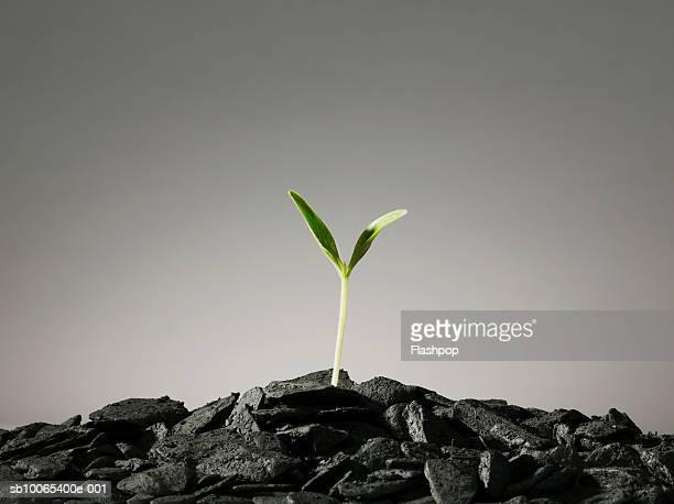Seedling growing in pile of coal