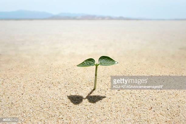 Seedling in desert, close up