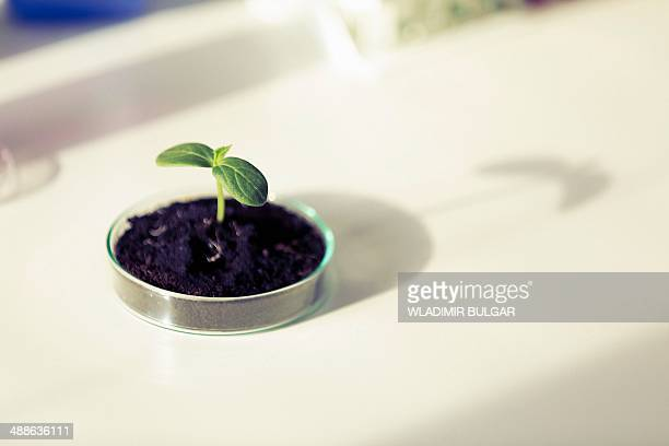 Seedling in petri dish