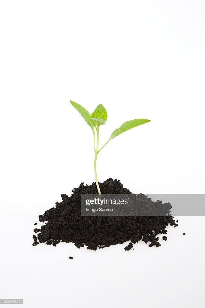 Seedling in soil