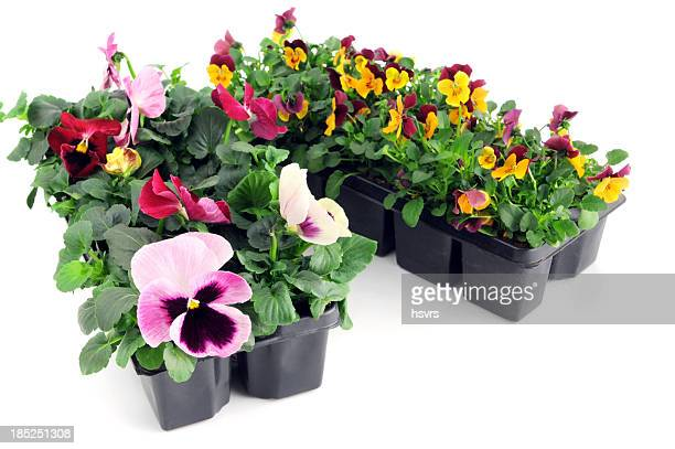 seedling of pink orange pansy and viola flower in pot