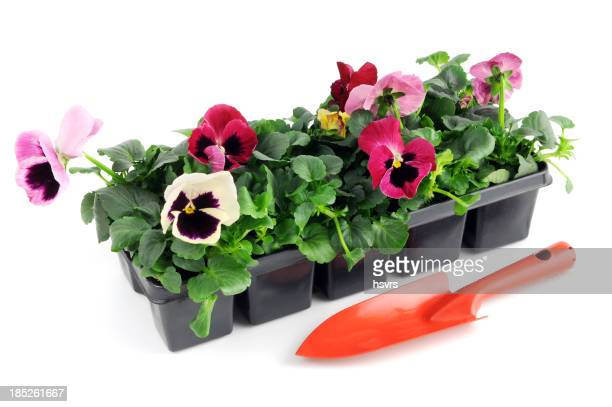 seedling pansy Flower in pot with gardening trowel