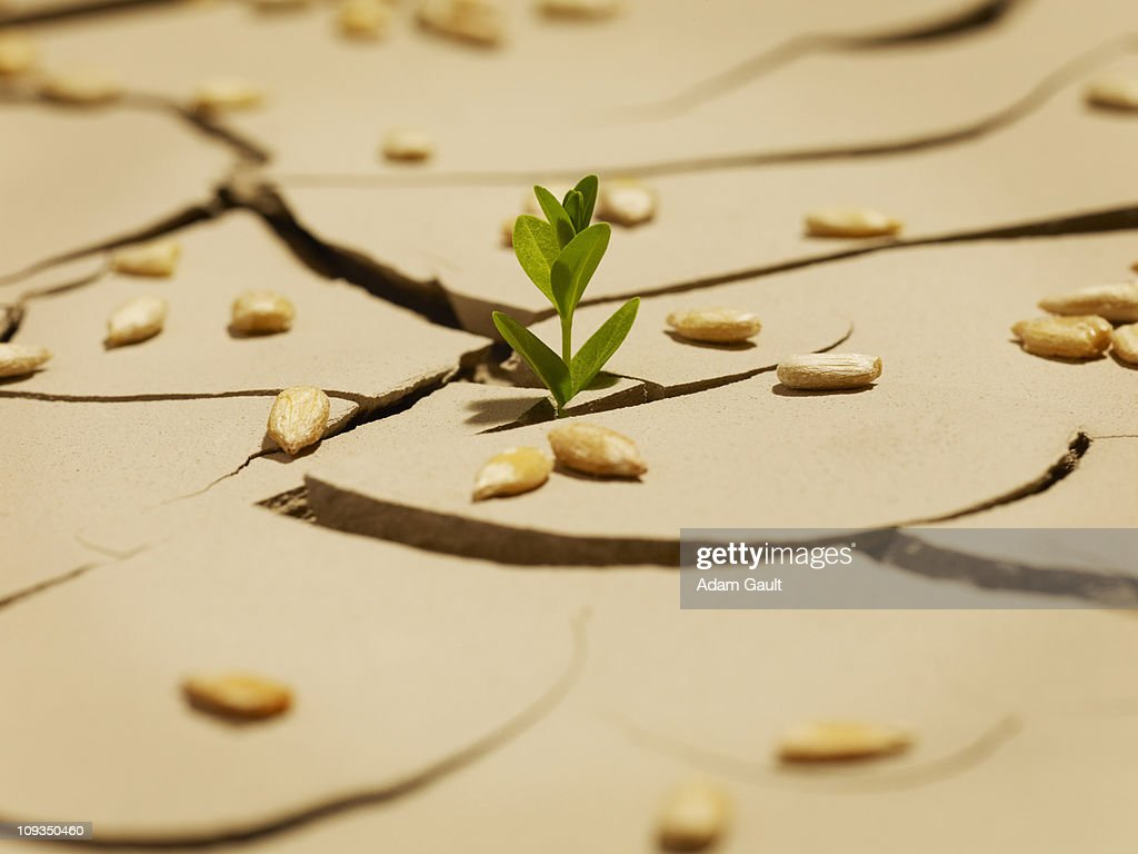 Seedling sprouting though cracked mud : Stock Photo