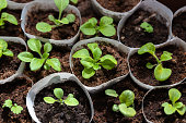 Seedlings grow in separate containers.