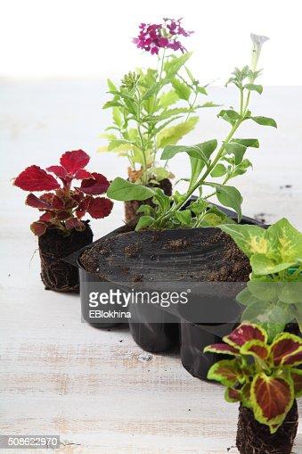 Seedlings of flowers : Stock Photo