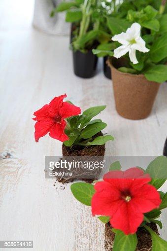 Seedlings of petunias in peat pots : Stock Photo